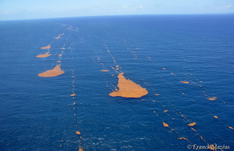 Les sargasses envahissent les Antilles