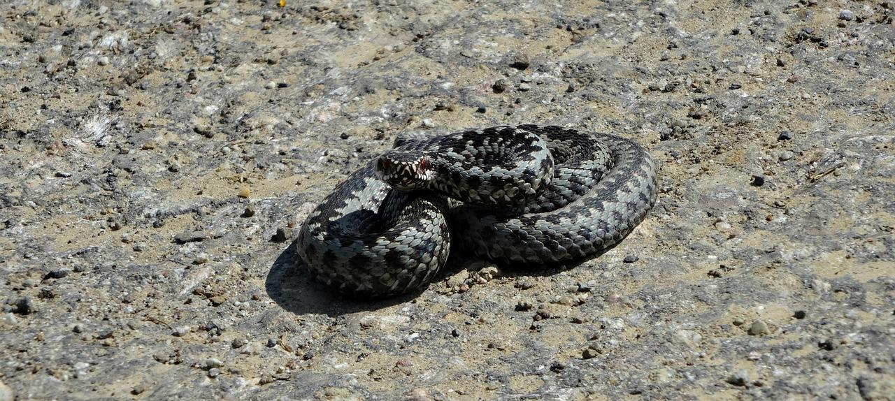 Serpent et vipère